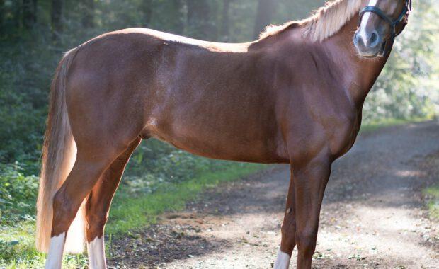 bruin paard in bos